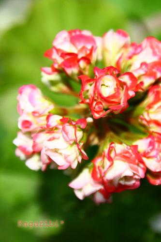 flower18c.jpg