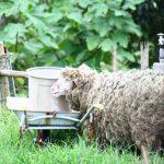 羊が一匹…