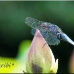 蓮の上の蜻蛉